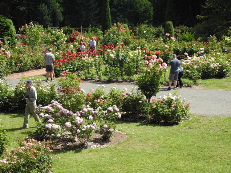 portlands rose garden - Portland Rose Garden
